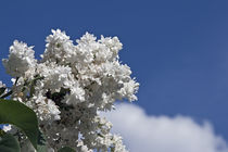'blooming white lilac' by Darius Norvilas