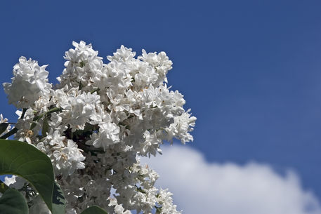Blooming-lilac