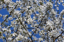 Cherry-blossom-in-spring-r