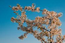 blossom in spring von Darius Norvilas