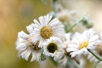 frozen chamomiles by Darius Norvilas