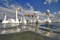 Swans von Albin Bezjak