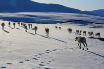 Reindeers moving to the summer pastures by Bente Haarstad
