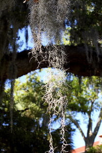 Spanish moss by ushkaphotography