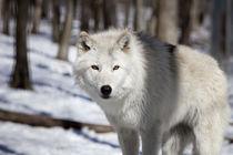 Tundra wolf by Vladimir Gramagin