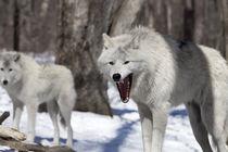 Wolf's grin