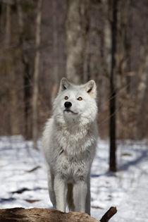 Arctic Wolf by Vladimir Gramagin