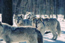 Wild pack by Vladimir Gramagin