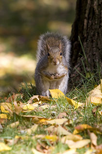 Curious squirrel by Vladimir Gramagin
