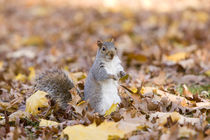 Autumn squirrel von Vladimir Gramagin