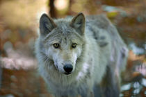 Grey wolf. Autumn von Vladimir Gramagin