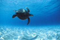 Turtle-keiki