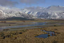 Cattle-on-river-delta-above-lake-ohai