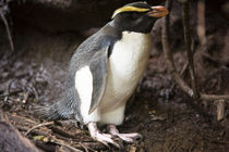 Fiordland-crested-penguin-1