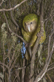 Kakapo ('Hoki') up in a manuka stand by Ross Curtis