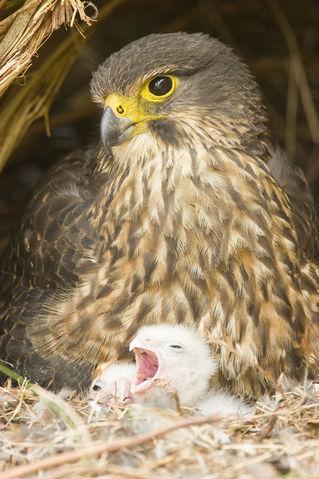 New-zealand-falcon-1