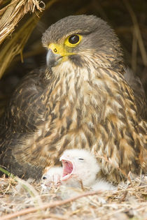 New Zealand Falcon incubating chicks by Ross Curtis