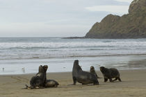 New-zealand-sea-lion-7