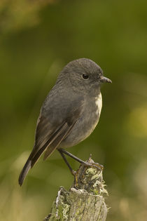 South-island-robin-1