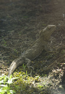 Tuatara by Ross Curtis