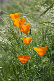 California Poppy by Lennox Foster