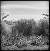 Balinese Geese by Andrew Kaufman