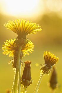 dandelions in yellow