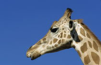 Head of a giraffe von Sami Sarkis Photography