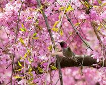 Anna's Hummingbird in Japanese Garden (landscape)