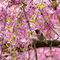 Annas-hummingbird-in-japanese-garden-land
