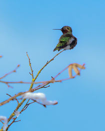 Anna's Hummingbird in Winter by Chris Bidleman