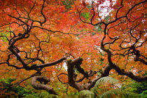 Branches of the Japanese maple in Fall von Chris Bidleman
