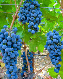 Clusters of red wine grapes by Chris Bidleman
