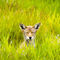 Coyote-in-the-grass