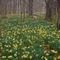 Daffodils-new-1-of-1