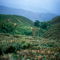 Tea plantations, India von Eugene Zhulkov