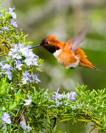 Rufous Hummingbird in the Rosemary (portrait) von Chris Bidleman