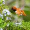 Rufous-hummingbird-in-the-rosemary-port