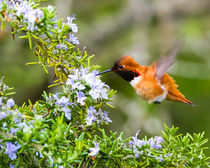 Rufous Hummingbird in the Rosemary (landscape)