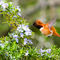 Rufous-hummingbird-in-the-rosemary-land