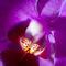 Orchidee-makro