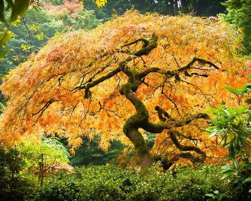 Glowing-japanese-maple