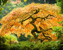 Glowing Japanese Maple von Chris Bidleman