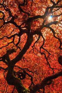 Sunburst through Japanese Maple von Chris Bidleman