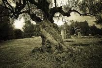 Spartan Olive Tree by Erik Schmitt