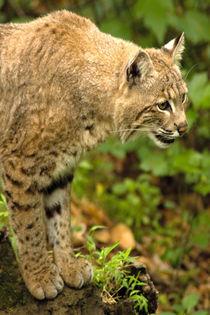 Bobcat-0138v1