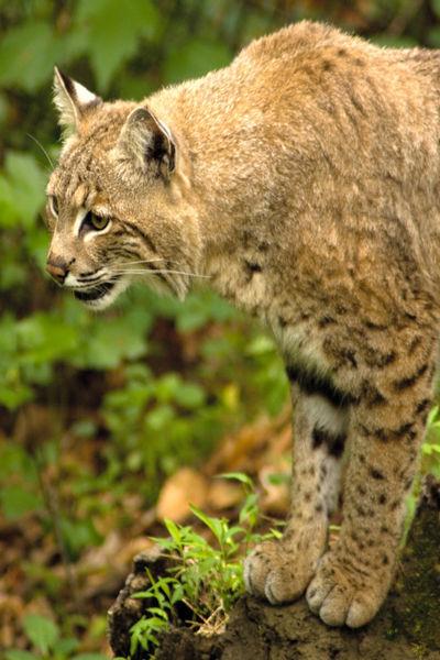 Bobcat-0138v2