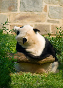 Panda_030v1 by Dennis Tarnay Jr