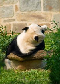 Panda_030v2 by Dennis Tarnay Jr