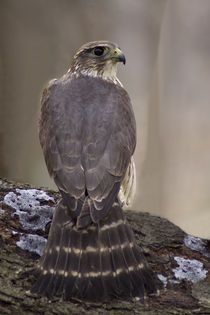 Peregrine Falcon_102v1 by Dennis Tarnay Jr